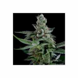 CROCKETTS HAZE (12) REG