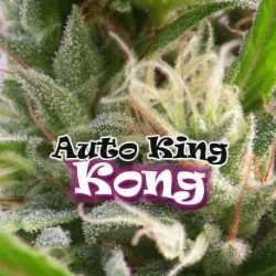 AUTO KING KONG (8)