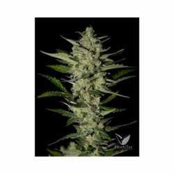 FLOWERBOMB KUSH (5)