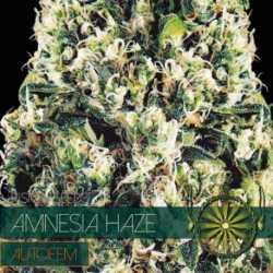 AMNESIA HAZE (5) AUTO