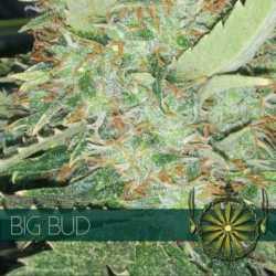 BIG BUD (5)