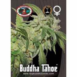 BUDDHA TAHOE (10)