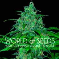 Auto 00 Cheese 5 Fem. 00 Seeds