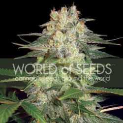 California Kush 5 Fem. 00 Seeds