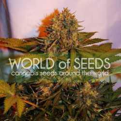 Caramel Kush 5 Fem. 00 Seeds