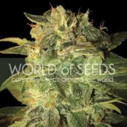 Auto Cheese Berry 5 Fem. 00 Seeds